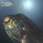 幻の深海魚リュウグウノツカイ